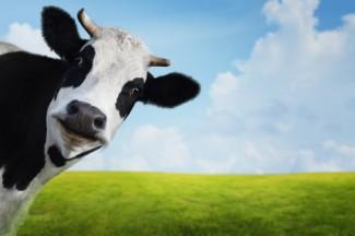 Photo_of_cow