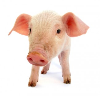 Photo_of_pig