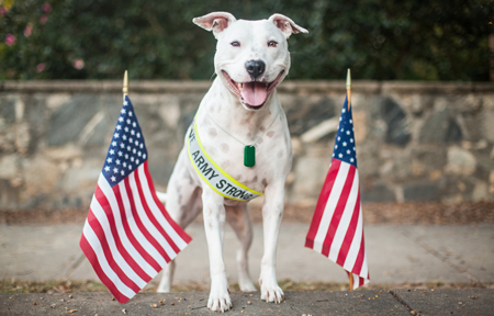 Pit bull with flags