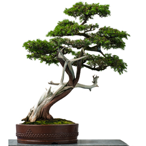 Tiny Bonsai Tree Worth 2k Is Stolen From Museum Abandoned And Recovered But Was Severely Pruned