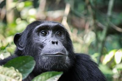 Chimpanzee400SS
