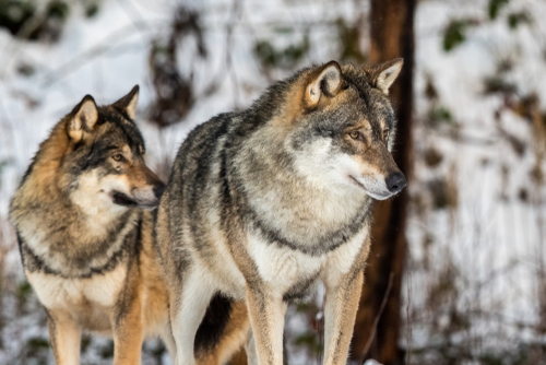 Gray wolf, Canis lupus, two wolves standing in a snowy winter forest