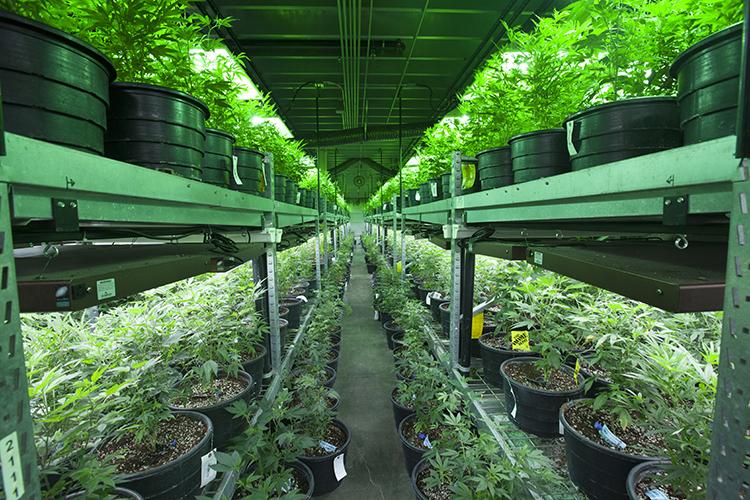 Industrial marijuana farm